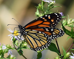 DSC_9177=3Monarch++ (laurie.mccarty) Tags: monarchbutterfly insect nature flower plant bokeh butterfly specinsect