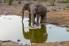 African elephant (Julian Cook Photography) Tags: africa africanelephant animal animals bushelephant elephant etoshanationalpark loxodontaafricana moringawaterhole namibia reflection reflectioninwater savannaelephant water waterhole