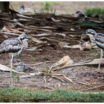 Bush Stone-Curlews with chick thumbnail