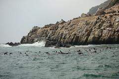 Robberg Peninsula Fur Seals (sirmick53) Tags: southafrica südafrika animals tiere elephanten robben meer nationalpark addoelephantpark urlaub gardenroute