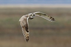 0M2A6220 Short-eared Owl (kevin_livesey) Tags: birdwatching owl eared short
