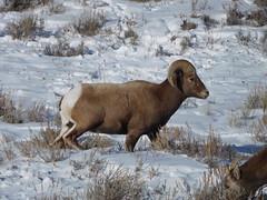 Bighorn Sheep (FilkerDave) Tags: jacksonhole wyoming sheep bighornsheep