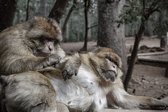 © Zoltan Papdi 2018-6780 (Papdi Zoltan Silvester) Tags: maroc magot macaquedebarbarie macacasylvanus morocco barbarymacaque gibraltar atlas maghreb couple singe monkey ifrane forêt cèdregouraud cedarforest gouraud moyenatlas middleatlas