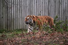 IMG_1485 (Simon M Hendry) Tags: yorkshirewildlifepark zoo england yorkshire wildlifepark animal mammal tiger bigcat amurtiger walking