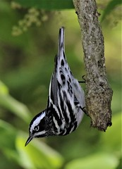 Black-and-white Warbler (Mniotilta varia) 05-09-2017 Roland Road, Charles Co. MD 5 (Birder20714) Tags: birds maryland warblers parulidae mniotilta varia mbpready