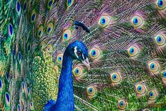 Peacock (The Original Happy Snapper) Tags: animal amazing bird feathers feather colours outdoor canon7dmkii colourful depthoffield eye godscreatures hdr image majestic mothernature nature uk uknature ukwildlife wild wildlife blue