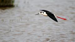 Black-Winged Stilt (Chris Kilpatrick) Tags: salbufera mallorca balearics spain sigma150mm600mm sigma chris canon canon7dmk2 outdoor wildlife nature animal bird naturereserve blackwingedstilt flight