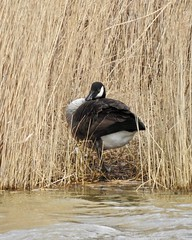 Canada goose (LouisaHocking) Tags: wild wildlife nature southwales creature bird british wales geese goose canada
