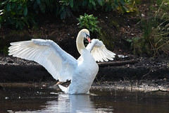Sutton Park - Keeper's Pool - Swan (Mikon Walters) Tags: sutton coldfield park keepers pool lake swan animal creature wild life wildlife outdoors nature water white nikon d5600 sigma 150600mm contemporary super zoom lens photography england britain uk living things wings wingspan spread