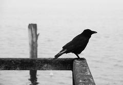 kiel_DSC03572 (ghoermann) Tags: deu düsternbrook geo:lat=5433491200 geo:lon=1015418887 geotagged germany kiel schleswigholstein bird balticsea