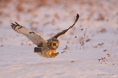 Owl at the golden hour (Earl Reinink) Tags: owl shortearedowl flight bird animal raptor predator sunlight outdoors snow field nature earl reinink earlreinink idhdauudha