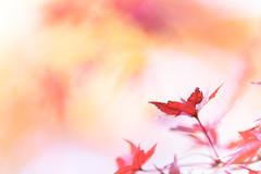 toward the orange spiral (hitohira_) Tags: flower flowers nature bokeh leaves maple