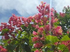 Aesculus x carnea (Iggy Y) Tags: aesculusxcarnea aesculus carnea spring blossom flower red color flowers green leaves nature park plant crvenocvjetnikesten kesten redhorsechestnut chestnut sunny day light sky cloud
