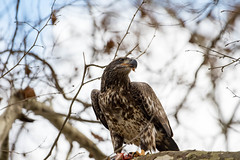 7K8A3277 (rpealit) Tags: scenery wildlife nature conowingo dam susquehanna river maryland immature bald eagle eating fish bird