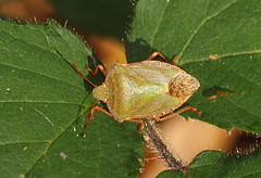 2018_10_0329 (petermit2) Tags: greenshieldbug shieldbug stinkbug pottericcarr potteric doncaster southyorkshire yorkshire yorkshirewildlifetrust wildlifetrust ywt