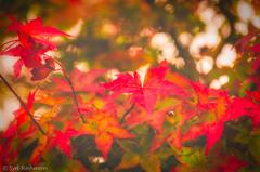 Fall Color at Queen Elizabeth Park, Vancouver, BC, Canada (Syd Rahman) Tags: 604now igscan mustbevancouver vancouvercanada beautifulbc britishcolumbia cityofvancouver dailyhivevan discovervancouver explorebc explorecanada explorevancouver georgiastraight igcanada igersvancouver igvancouver ilovebc meetup narcityvancouver photos604 staypnw thankyoucanada tourcanada vancity vancitybuzz vancityfeature vancityhype vancitylove vancouver vancouverbound vancouvering vancouverisawesome vancouverlife vancouverofficial veryvancouver bc beautiful beautifulbritishcolumbia beautifulcanada canada dslr followme iso nikon nikoncanada nikond7000 nikondslr queenelizabethpark rahman syd sydrahman sydur sydurrahman today