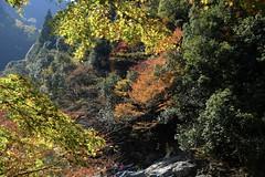 Kiyotaki (ababhastopographer) Tags: 蛍光色 kyoto kiyotaki stream valley autumn foliage ray sunlighit maple trail 京都 清滝 渓谷 秋 afternoon 午後 日差し 清滝川 紅葉 黄葉