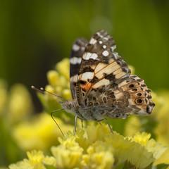 Belle dame en été ** (Titole) Tags: belledame paintedlady titole nicolefaton squareformat butterfly papillon thechallengefactory