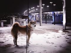 Winter Walk (pjen) Tags: shibainu shibaken nihonken hiro dog shiba koira primitive breed spitz japanese finland 日本犬 柴犬 urajiro 10years winter snow ice bridge animal pet