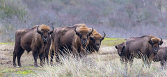 Group of European bisons looks interested to photographer on Bison Trail, Netherlands