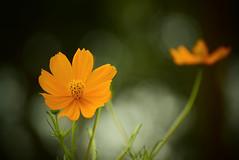 Yellow Cosmos flora! (SHAN DUTTA) Tags: yellow flora nikon d5300 cosmos 2018 flower garden bokeh