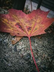 maple leaf (annapolis_rose) Tags: leaf autumnleaf autumncolors mapleleaf campus ubc