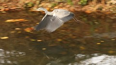 Grey Heron, 19112018, (31) f (alanblunden) Tags: lloydramsdenwalk wildbird riverwitham bird alongtheriver wildlife autumn grantham wild wyndhampark granthamsriversidewalkcycleway park greyheron river november uk water grey heron autumn2018 november2018