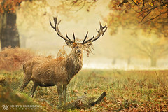 Red Deer llI (Michiyo Photo) Tags: deer autumn orange landscape nature animal leaves green tree canon park richmondpark england unitedkingdon surrey southern southernengland lone funny