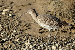 Curlew-7D2_0465-001 (cherrytree54) Tags: curlew rye harbour canon sigma 7d 150600 east sussex