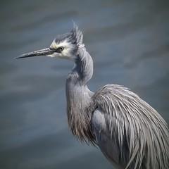 White-faced Heron - Ruffled feathers (njohn209) Tags: birds d500 nikon nz