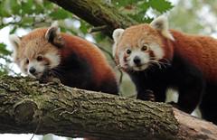 red panda Blijdorp 094A0297 (j.a.kok) Tags: panda redpanda rodepanda kleinepanda animal asia azie china mammal zoogdier dier blijdorp babypanda blijdorpzoo moederenkind motherandchild