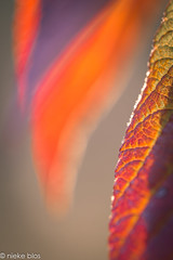 Autumn-9 (niekeblos) Tags: leave leaves autumn bokeh canon6d nature macro autumncolours