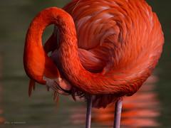 Gefiederpflege (wernerlohmanns) Tags: vögel wasservögel flamingos rot natur outdoor nikond7200 schärfentiefe