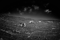 Three happy cows (iamunclefester) Tags: hiking trekking kampenwand mountain mountains blackandwhite monochrome cow happy meadows alp pasture mountainpasture alpine alpinepasture fleckvieh sky clouds three up steep slope