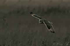 Short Eared Owl: Last Light-0194 (WendyCoops224) Tags: 100400mml 80d fens canon eos ©wendycooper short eared owl dusk flight raptors owls