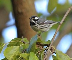Off Course (Slow Turning) Tags: setophaganigrescens blackthroatedgraywarbler blackthroatedgreywarbler bird migrant migrating migrate perched tree branch leaf autumn fall southernontario burlington canada