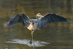 GBH (Kevin James54) Tags: lakegalena nikond850 peacevalleypark tamron150600mm animals ardeaherodias avian bird greatblueheron heron kevingianniniphotocom