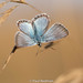 Back to Butterflies (predman69) Tags: blue butterfly grass insect nikon d750 sigma 150mm macro brown bokeh somerset