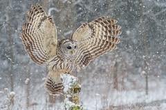 Bring it on.. (Earl Reinink) Tags: owl bird predator raptor nature animal wildlife forest tree snow snowing feathers outdoors earl reinink earlreinink barredowl