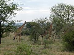 Masai giraffe - Giraffa camelopardalis tippelskirchii (Linda DV) Tags: giraffacamelopardalistippelskirchii kilimanjarogiraffe masaigiraffe artiodactyla vulnerableiucn31 lindadevolder travel africa tanzania 2018 nature geotagged fauna flora serengeti
