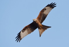 DSC_2271 Red Kite (PeaTJay) Tags: nikond750 tamron reading lowerearley berkshire outdoors nature birds birdsofprey redkite