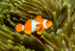 Clown Fish (JLoyacano) Tags: bali canong7x canong7xmarkii fantasea ocean reef uwphotography anemone anemonefish clown clownanemonefish coral coralreef dive fish indo indonesia komodo liveaboard marine marinelife scuba scubadiving sea snorkel underwaterphotography