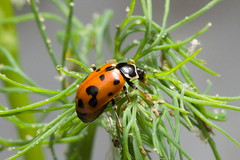 Chinita (Coccinellidae) o mariquita. (Andres Bertens) Tags: 4692 olympusem10markii olympusomdem10markii olympusm60mmf28macro olympusmzuikodigitaled60mmf28macro rawtherapee coccinellidae chinita ladybug