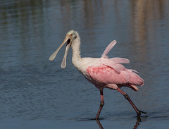 Bad Feather Day !? (ruthpphoto) Tags: bird animal roseatespoonbill