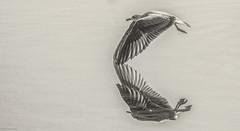 Reflejos de otros tiempos. (jesusgag) Tags: paratrabajar gaviotas 85000 möwen طيور النورس 海鷗 갈매기 måger lokit mouettes γλάροι gulls gabbiani カモメ meeuwen måker mewy чаек måsar spanien إسبانيا 西班牙 스페인 espanja españa espagne ισπανία spain spagna スペイン spanje spania hiszpania espanha испания aves vögel دواجن 家禽 새들 siipikarja oiseaux πουλιά birds pollame 鳥 gevogelte fjærkre ptaki домашняяптица