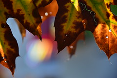The cracks are showing (James_D_Images) Tags: autumn fall oak leaves foliage colours decay cracks closeup backlit green yellow brown bokeh orange red blue sooc