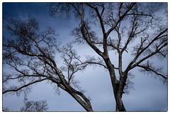 L1004982 (Kim Peery Sherman) Tags: sky'sthelimit keeplookingup m10 28summicronasph 200 11 1250 trees morningwalk belmontboulevard walkwithmarie tillie beautifulday