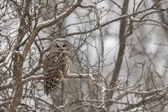 Shenandoah Snowy Owl (rob.wallace) Tags: fall 2018 shenandoah national park skyline drive barred owl snow raptor