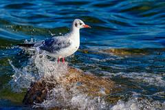 Où est mon parapluie ? (Savoie 12/2018) (gerardcarron) Tags: faune lac lacbourget nature oiseaux savoie water animaux canon80d