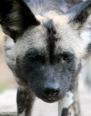 G08A1239-Edit.jpg (Mark Dumont) Tags: african dog painted zoo mark dumont mammal cincinnati